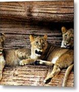 3 Cubs Metal Print