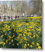 Daffodils In St James Park London Metal Print