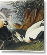 Eider Duck Metal Print