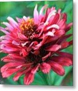 Fuchsia Pink Zinnia From The Whirlygig Mix Metal Print
