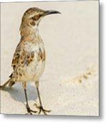 Galapagos Hood Mockingbirds Metal Print