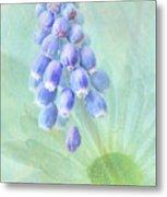 Grape Hyacinth Metal Print