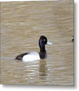 3 Greater Scaup  4060 Metal Print