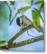Huthatch Bird  Nut Pecker In The Wild On A Tree Metal Print