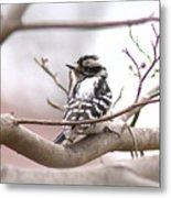 Img_0001 - Downy Woodpecker Metal Print