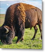 Kansas Buffalo Metal Print