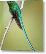 Long Tailed Sylph Rio Blanco Manizales Colombia Metal Print