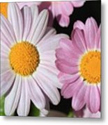 Marguerite Daisy Named Petite Pink Metal Print