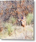 Mule Deer Doe Metal Print