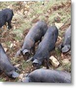 Pigs Metal Print