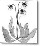 Pitcher Plant Flowers, X-ray Metal Print