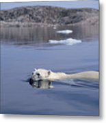 Polar Bear Swimming Wager Bay Canada Metal Print
