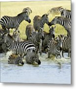 Quenching Their Thirst Metal Print