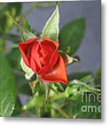 Red Rose Blooming Metal Print