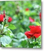 Red Roses Garden Spring Season Metal Print