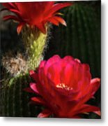 Red Torch Cactus  Metal Print