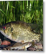 Rock Bass Metal Print