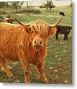 Scottish Highlander With Big Bangs Metal Print