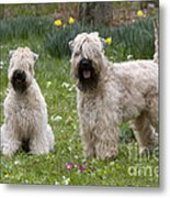 Soft-coated Wheaten Terriers Metal Print