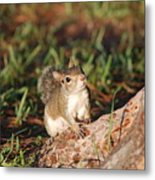 3- Squirrel Metal Print