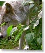 The Wild Wolve Group B Metal Print