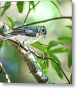 Tufted Titmouse In The Wilds Of South Carolina Metal Print