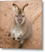 Wallaby Outside By Itself Metal Print