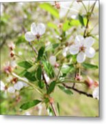 White Cherry Flower Metal Print