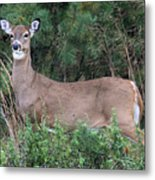White Tailed Deer Calverton New York Metal Print