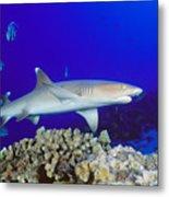 Whitetip Reef Shark Metal Print