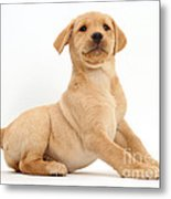 Yellow Labrador Retriever Puppy Metal Print