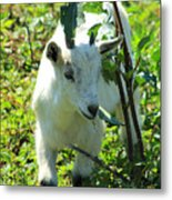 Young Goat On A Farm Metal Print