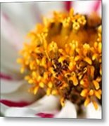 Zinnia Named Zahara Starlight Rose Metal Print