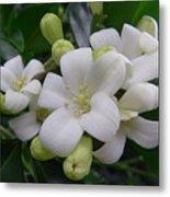 Australia - Gardenia White Flowers Metal Print