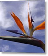 Australia - Bird Of Paradise On Blue Metal Print