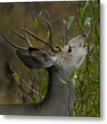 3x3 Buck Mule Deer-signed-#9716 Metal Print