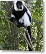 Black And White Ruffed Lemur Metal Print