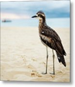 Bush Stone-curlew Resting On The Beach. Metal Print