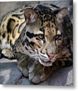 Clouded Leopard Metal Print