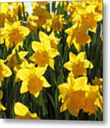 Daffodils In The Sunshine Metal Print