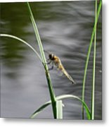 Four-spotted Chaser Metal Print