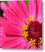Fuchsia Pink Zinnia From The Whirlygig Mix Metal Print