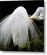 Great White Egret Preening Metal Print