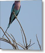 Lilac Breasted Roller On The Hunt Metal Print
