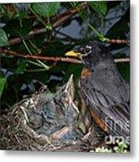 Robin Feeding Its Young Metal Print