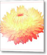 Strawflower Metal Print