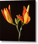 Tiger Lily Flower Opening Part Metal Print