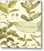 Vintage Botanical Illustration Metal Print