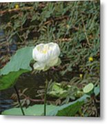 White Lotus Flower Flower Lotus Nature Summer Green Plant Blossom Asian Metal Print