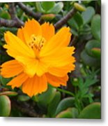 Australia - Cosmos Carpet Yellow Flower Metal Print